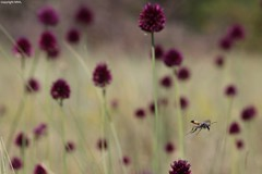 flying Ammophila (Phil Arachno) Tags: germany mainzersand rheinlandpfalz allium ammophila hymenoptera
