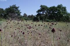 Allium sphaerocephalon (Phil Arachno) Tags: germany mainzersand rheinlandpfalz allium