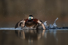 Ruddy Duck - Érismature Rousse (www.andrebherer.com) Tags: ruddyduck duck canard erismaturerousse bird oiseau nature faune wildlife abitibi québec canada andrébherer