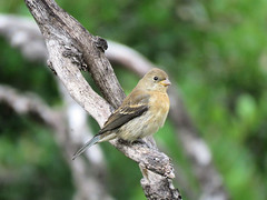 Lazuli Bunting (Dean Newhouse) Tags: lazulibunting