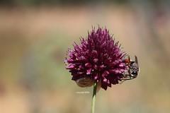 Allium sphaerocephalon mit Sandwespe (Phil Arachno) Tags: germany allium hymenoptera