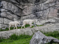Mountain Goat Calgary Zoo lens test Leica DG  100-400mm --2.jpg (Phil Kinsman (Olwebhound)) Tags: molting young rockymountaingoat kids calgaryzoo lenstest female