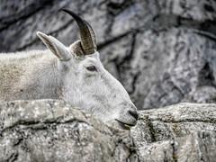 Mountain Goat Calgary Zoo lens test Leica DG  100-400mm -.jpg (Phil Kinsman (Olwebhound)) Tags: lenstest calgaryzoo male rockymountaingoat