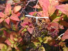 Plume Moth DSCN2571 (ianpreston) Tags: 2019 staffordshire mybackgarden plumemoth