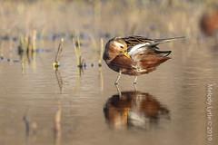 Red Phalarope (karenmelody) Tags: alaska animal animals bird birds charadriiformes phalaropusfulicarius redphalarope scolapidae usa vertebrate vertebrates nearbarrow utqiaġvik unitedstatesofamerica