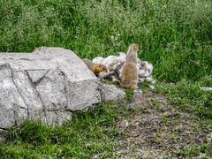 Mountain Goat Calgary Zoo lens test Leica DG  100-400mm --5.jpg (Phil Kinsman (Olwebhound)) Tags: gopher calgaryzoo lenstest