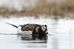 Long-tailed Duck, male (karenmelody) Tags: alaska anatidae usa bird birds animal animals duck unitedstatesofamerica ducks vertebrate vertebrates anseriformes longtailedduck clangulahyemalis nearbarrow utqiaġvik