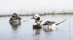 Long-tailed Ducks, pair (karenmelody) Tags: usa bird birds animal animals alaska duck unitedstatesofamerica ducks vertebrate vertebrates anatidae anseriformes longtailedduck clangulahyemalis nearbarrow utqiaġvik