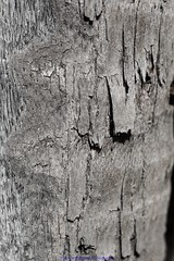 Texture 02 (Nicky Highlander Photography) Tags: barbados caribbean westindies saintpeter polomar gardens backyard abstract pattern texture rough outsidethebox blackandwhite monochrome fineart series barbadosphotographicsociety tree bark trunk old tropical weathered flora plant photoessay photojournalism documentary editorial nikon d5200 project barbadian videographer nature