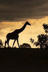 Mara Giraffe silhouette (Leon Sammartino) Tags: kenya masa mara giraffe art silhouette wildlife fujifilm sunset tanzania border africa safari xmount x xseries