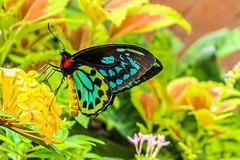 Priam's Birdwing Butterfly's Color-filled World (Stephen G Nelson) Tags: insect butterfly birdwing botanicalgarden tucson arizona