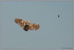 The Chase 2873 (maguire33@verizon.net) Tags: athenecunicularia bif bird birdofprey burrowingowl figeaterbeetle owl wildlife