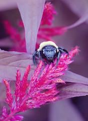 Hot Fuzz (StrangeCharmDesign) Tags: flower nature bee pollination pollinator bumblebee fuzzy pink yellow leaf petal fuchsia alabama huntsville huntsvillebotanicalgarden celosia cockscomb outdoors macro closeup