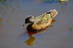 Wood Duck (Neal D) Tags: bc langley campbellvalleypark bird duck woodduck aixsponsa