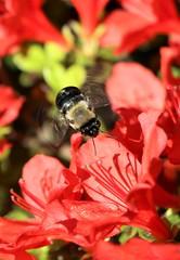 Buzzing Bee on Azaleas (Chris Jackolski) Tags: bumblebee bee flutter wings fly pollinate flowers action pollen