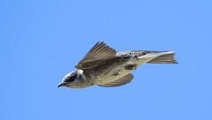 Purple Martin (nwbirdscapes.com) Tags: explorer purplemartin swallows insectivore carnivore washington washougal steigerwald nationalwildliferefuge d500 nikon 200500mm