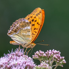 Silver-washed fritillary | SONY ⍺7RII & EF100~400L IS II on Metabones T Mark V (.: mike | MKvip Beauty :.) Tags: sony⍺7rmarkii sony⍺7rii sonyilce7rm2 sonyalpha7rm2 sonyalpha sony alpha emount ⍺7iii ilce7rm2 canonef100~400mmf4556lis ef1004004556lisiiusm canonl 100400mm is metabonesefemounttsmart metabonesmarkv metabones manualexposure manual handheld availablelight naturallight backlight backlighting shallowdof bokeh bokehlicious beyondbokeh extremebokeh smoothbokeh closeup macro nature animal insect butterfly silverwashedfritillary lepidoptera argynnispaphia schmetterling kaisermantel summer hagenbach germany europe mth mkvip canonef100~400mmf4556lisiiusm metabonesefemounttsmartadaptermarkv ngc npc