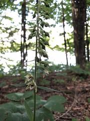 Helleborine Orchid (amyboemig) Tags: bowman lake state park friends sparkies camping july summer hike orchid flower invasive helleborine ny
