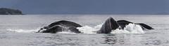 Humpback Whales - Bubble Net Feeding (Turk Images) Tags: mammals summer britishcolumbia pacificocean humpbackwhale herring princerupert cetaceans behaviour bubblenetfeeding