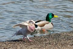 I'm out of here (JSB PHOTOGRAPHS) Tags: jsb8011 pigeon mallard altonbakerpark nikon d800 af nikkor 300mm f4 ifed