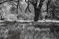 Oaks (bingley0522) Tags: leicaiiic carlzeissjenasonnar50mmf15ltm xp2 zeissjenasonnar50mmf15ltm americanriver americanriverscenes sacramento centralvalley riparianwoodland autaut