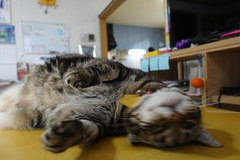 Time to Play! (sjrankin) Tags: 27july2019 edited animal cat kitahiroshima hokkaido japan tigger table livingroom playful rolling closeup blurry motion fast claws