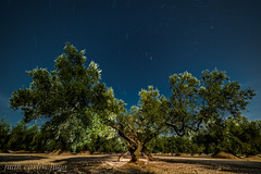 OLIVO NOCTURNO (juan carlos luna monfort) Tags: noche night lightpainting flash tripode estrellas stars polar polaris circumpolar la senia nikond810 irix15 largaexposicion calma paz tranquilidad