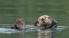 Chilling (Melanie Leeson) Tags: d850 nikon otters httpsmelanieleesonphotographycom northamericanwildlife seaotters enhydralutris mammals d500 melanieleesonwildlifephotography smugmug