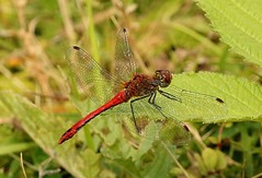 Red Dragonfly  (Explored) (Bogger3.) Tags: reddragonfly venuspool macro close up leaf hotday canon7dmk2 canon100x400lens ngc npc coth5