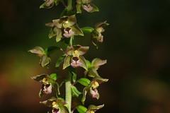 Faversham's Broad-leaved Helleborine - Epipactis helleborine deep in a forest glenn (favmark1) Tags: faversham favershamorchids wildorchids kentorchids britishorchids broadleavedhelleborine epipactishelleborine
