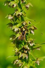 Pollinator - Epipactis helleborine (favmark1) Tags: orchid kent kentorchids britishorchids wildorchids broadleavedhelleborine epipactishelleborine wasp
