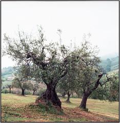 Olive grove_Rolleiflex 3.5B (ksadjina) Tags: 6x6 italia kodakektar100 marcheedabruzzo2019 nikonsupercoolscan9000ed rolleiflex35b silverfast analog estate film scan