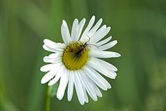 Flower and bugs again (Håkan Jylhä (Thanks for +1000000 views)) Tags: håkan jylhä sweden sverige summer sommar white vit blomma flower prästkrage bug skalbagge sony rx10iv