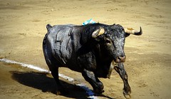 el Saltillo (aficion2012) Tags: ceret de toros 2019 ganaderia saltillo javier cortés francia france corrida bullfight tauromachie tauromaquia taureau bull animal fauna