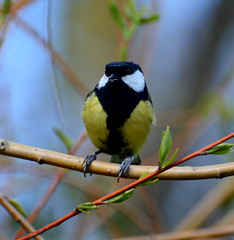 Great Tit (Lanius Excubitor) Tags: great tit bird tree branch nikon parus major