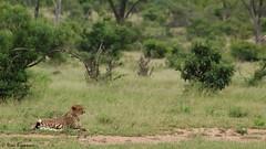 Acinonyx jubatus (Rémi Bigonneau) Tags: acinonyxjubatus guépard cheetah cat félin afrique southafrica krugernationalpark nature wildlife animal mammal