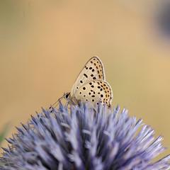 Papillon (clamar18) Tags: butterffly flower echinops mauve jardin nature mérysurcher france vierzon papillon