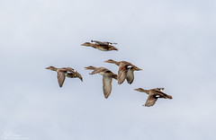 Gadwall on the wing (Steve (Hooky) Waddingham) Tags: animal countryside nature duck geese wild wildlife wildfowl
