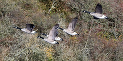 Canada Geese (Steve (Hooky) Waddingham) Tags: animal countryside nature duck geese wild wildlife wildfowl