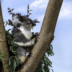 Longleat (July 2019 #5) (Lazlo Woodbine) Tags: longleat zoo safaripark koala animal wildlife nature natural cute bear bath bristol wiltshire uk england britain australia sony 1650mm a6000 july 2019