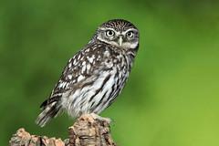 Little Owl - Athene noctua (Roger Wasley) Tags: littleowl athenenoctua bird owl