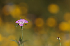 Up and coming (microwyred) Tags: spring events season blossom flower meadow greencolor botany daisy summer beautyinnature macro plant outdoors flowerhead nature freshness closeup singleflower petal yellow springtime wildflowers