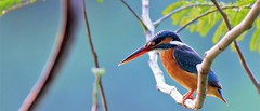 Common kingfisher (khoitran1957) Tags: bird nature lake sunlight 219 ultrawide widescreen wide wallpaper