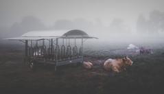 Augasmansas (Noel Feans) Tags: vaca cow augasmansas teo galiza galicia sony a7iii iii a7 fe 24 14 gm