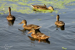 *** (Aleksey Guskov) Tags: россия ульяновск река свияга russia ulyanovsk river duck утка