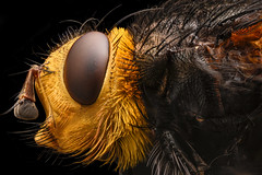 Tachina grossa (davidshred) Tags: fly insect macro extreme