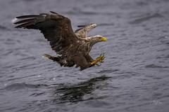 Talons loaded (andy_harris62) Tags: whitetailedeagle eagle bird birdinflight birdofprey raptor talons nature naturephotography wildlife wildlifephotography ladyjane mullcharters isleofmull nikond850 nikkor300mmf28