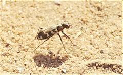 Dünen-Sandlaufkäfer (Cicindela hybrida) (naturgucker.de) Tags: ngid282087700 cicindelahybrida dünensandlaufkäfer