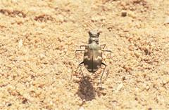 Dünen-Sandlaufkäfer (Cicindela hybrida) (naturgucker.de) Tags: ngid1667189053 cicindelahybrida dünensandlaufkäfer