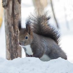 IMG_79422019_02_16 Squirrel, Japan EOS 7D Mark II (Sugar Beet Pete) Tags: japaneseblacksquirrel japan suirrel animal black snow
